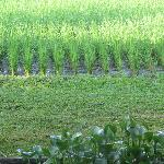 Lush and Lovely Rice field outside window