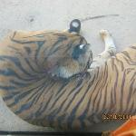 one of the tigers in Baton Rouge zoo