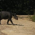 Tapir crossing the road