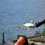 Mama and baby swans, view from Corrib House table.