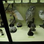 A selection of owls on display at Tring Zoological Museum