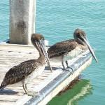 Pelicans waitng hopefully