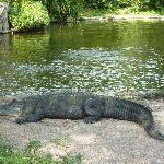 Crocodilo, em Bush Gardens