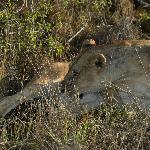 Lions near Roaring Rocks