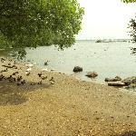 Swans and Geese lazing at Lake Ontario's edge