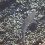 Requin à pointe blanche vu en PMT à l'île Coco