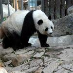 Panda at the CM Zoo