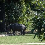 Hippo on the premises