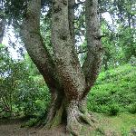 The oldest tree planted in 1750