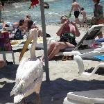 resident pelican visits the beach daily