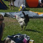 The rooster rules the roost .. and the campsite