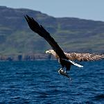 Sea eagle with fish in talons