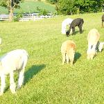 Alpacas in front of the inn