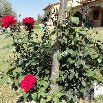 Una delle tante piante di rosa