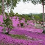 滝上町芝桜公園