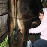 cow milking...