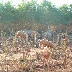 les moutons qui puent