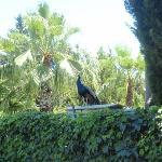 påfugl , ved en flot naturpark som hører til hotellet