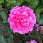 Es gibt auch Rosen
