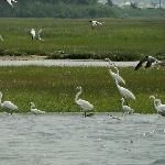 A feeding frenzy--terns, gulls, great white and snowy egrets