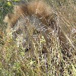 Male Lion seen on game drive