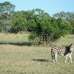Zebra on game drive