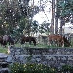 Peruvian Pasos outside my bedroom window