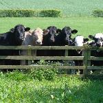 Cattle enjoying the summer sun at Crosshall