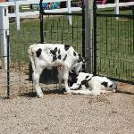 Cute little calves!