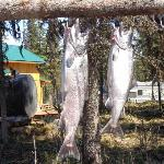 King Salmon caught on Kenai River