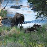 Moose Momma and Babies