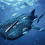 Tiburon Ballena en Cancun