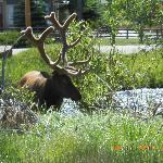 And more Elk! This time with fuzz on the antlers. A wonderful reminder of Colorado's glory.