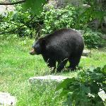Bear in the zoo/habitat