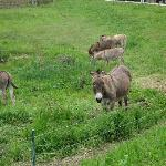 放牧地のロバ
