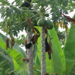 Cusingas on papaya tree