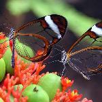 Glasswing butterflies