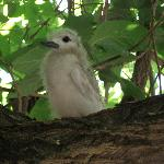Fluff, the young fairy tern