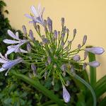 Agapanthus flower in the terrace