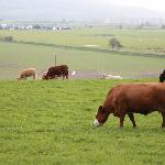 Cows mooing along the walk to town