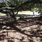 Friendship Oak Tree Branches