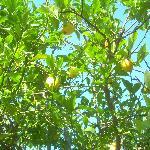 Gli alberi da frutto