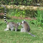 Lemurs sharing a treat
