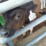 Baby cow! Aww
