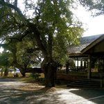 The oak tree that everyone climbs while waiting for a table
