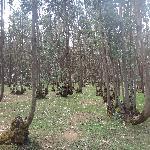 entoto eucalyptus forest