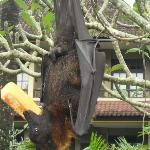 The adopted fruit bat takes breakfast