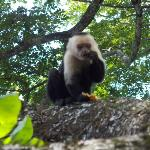 MANP White Faced Monkey (5' Away)