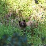 Bärenbesuch bei einem Spaziergang durch den Giant Forrest