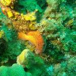 Coneyfish